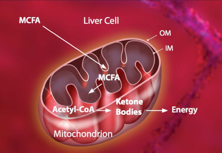 MCT-to-Ketone-Bodies
